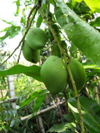 9aug2006_mango2